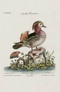 Querquedula Sinensis Elegans Duck From George Edwards