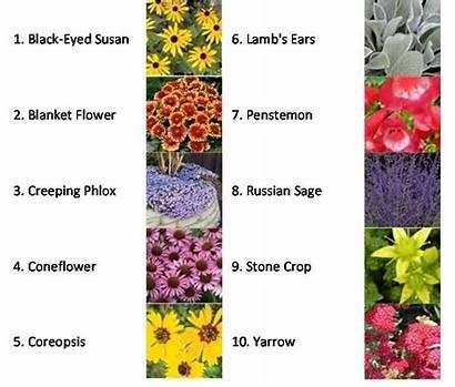Plants Drought Tolerant Garden Flowering Plant Ornamental
