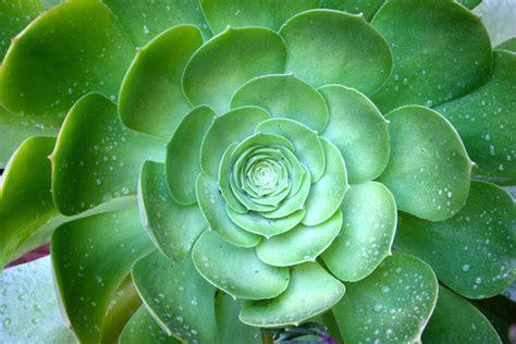 succulent photo succulent mandalas fractals fibonacci pinterest