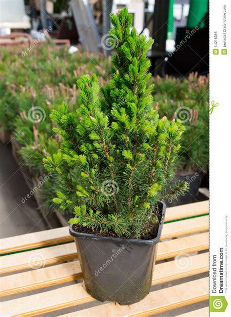 abete nano da giardino pino nano da giardino