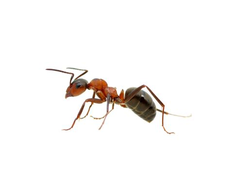 How Big Is A Kitchen Island - ant infestations insect extermination long island pest control nyc