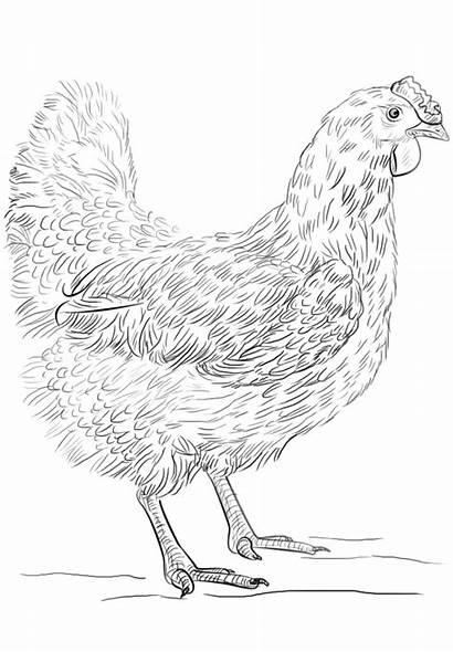 Ayam Gambar Mewarnai Betina Hen Belajarmewarnai Ausmalbild
