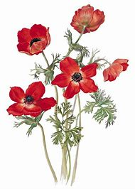 Best Poppy Flower Drawing Ideas And Images On Bing Find What You