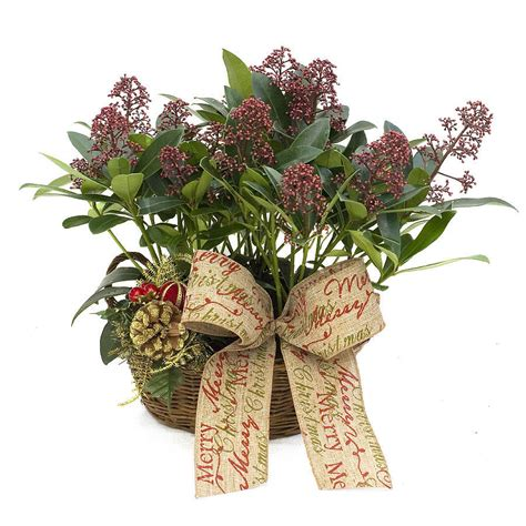 plant gifts skimmia planter by giftaplant