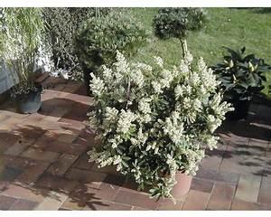 Baum Vorgarten Immergrün : pflanzen set vorgarten immergr n 3 3 stk bei hornbach kaufen ~ Michelbontemps.com Haus und Dekorationen