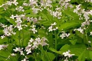 Welche Erde Für Hortensien : silberblatt mondviole pflanzen pflegen berwintern und mehr ~ Eleganceandgraceweddings.com Haus und Dekorationen