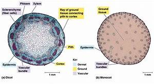 Dicot Stem Vs  Monocot Stem  What Is The Difference
