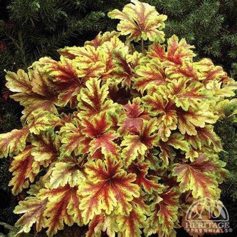 plant profile  heucherella gold zebra foamy bells