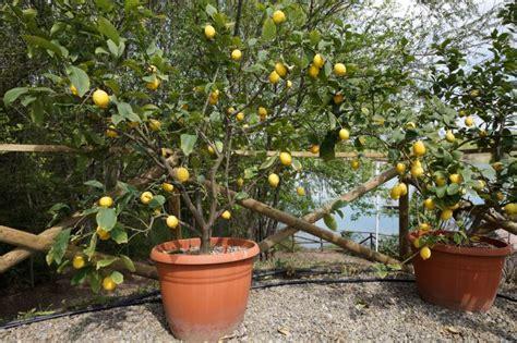 limoni coltivazione in vaso agrumi in vaso le cure da riservare loro durante l inverno