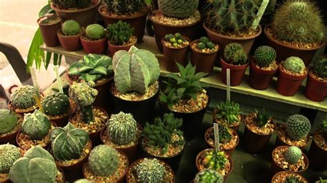 Baby Cactus for Sale at the Famous Weekend Market of ...