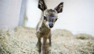 Baby Klipspringer Born at Lincoln Park Zoo - NBC Chicago
