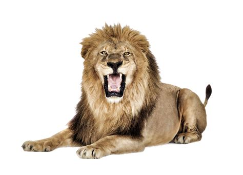 roaring lion png   icons  png backgrounds