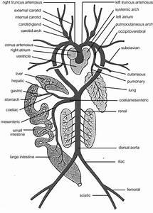 Standard Note  Arterial System Of Frog