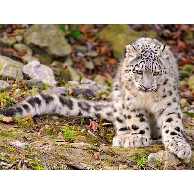 Snow LeopardAnimal Unique