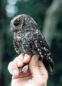 Flammulated owl - Wikipedia