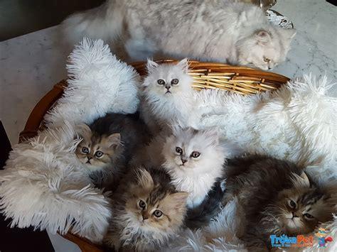 gattini persiani gattini persiani golden e silver shaded in vendita a pisa pi