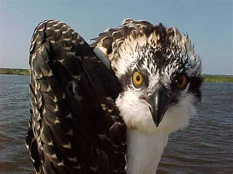 osprey wallpaper  background image  id