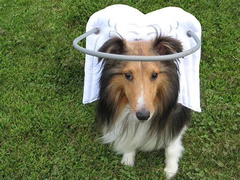 blindness in dogs this angelic halo protects blind dogs from bumping into