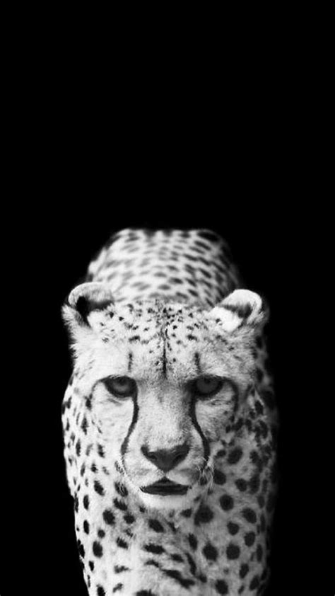 Animal Iphone Wallpaper - black cheetah wallpaper 69 images