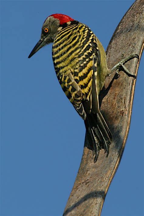 woodpecker wikipedia