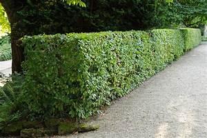 Schnell Wachsender Sichtschutz Immergrün : schnellwachsende hecken ~ Michelbontemps.com Haus und Dekorationen