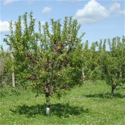 miniature fruit trees plum trees from stark bros plum trees for sale