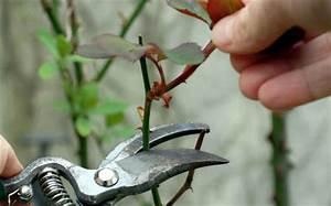 Comment Tailler Les Orchidées Pour Qu Elles Refleurissent : taille des rosiers technique et p riode conseils en ~ Melissatoandfro.com Idées de Décoration