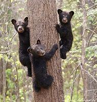Blackbears Wildlife Photography