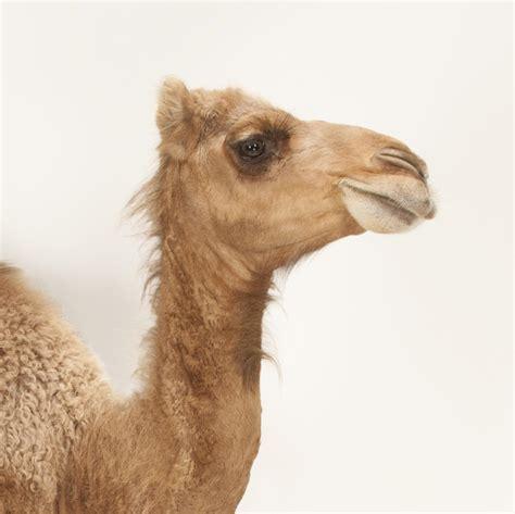 Arabian Camel (dromedary)  National Geographic