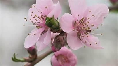 Spring Theme Desktop Pink Flowers Landscape 10wallpaper