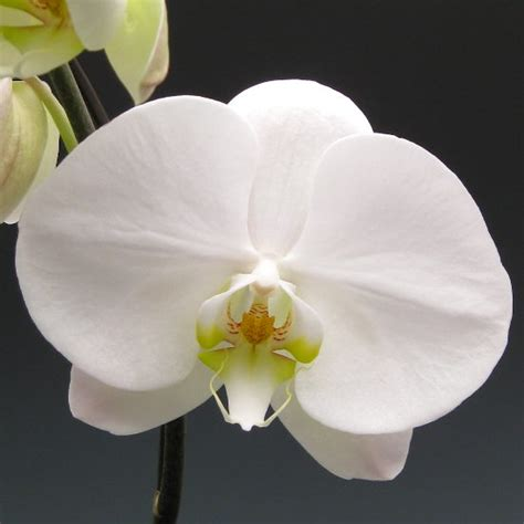 phalaenopsis orchid orchid plants white phalaenopsis orchidaceous orchid blog