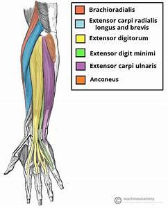Arm Muscle Anatomy Quiz