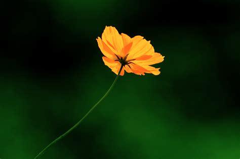 closeup photography  yellow cosmos flower cosmos