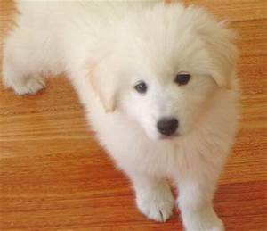 Bella, the Golden Samoyed mix I want one!! | Cute animals ...