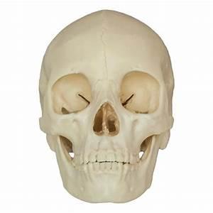 Replica Human Skull