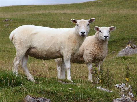 sheep names file sheep cumbria jpg wikimedia commons