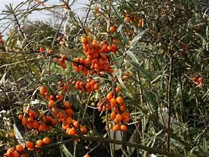 Sanddorn Pflanzen Kaufen : sanddorn weiblich 39 leikora 39 hippophae rhamnoides 39 leikora 39 baumschule horstmann ~ Eleganceandgraceweddings.com Haus und Dekorationen