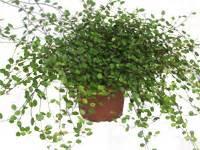 schnell rankende pflanzen rankende arten pflanzen versand f 252 r die besten winterharten balkonpflanzen k 252 belpflanzen