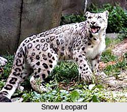snow leopard indian animal