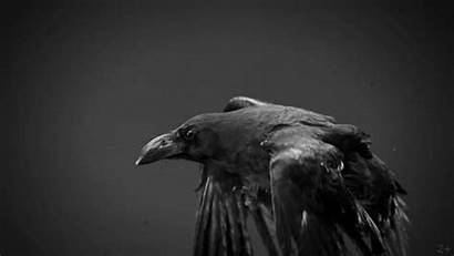 Raven Flying Bird Vulture Ravens Crazy Gifs