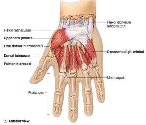 Wrist Anatomy - MKS