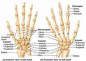Medical Freak  The Skeleton Of The Upper Limb