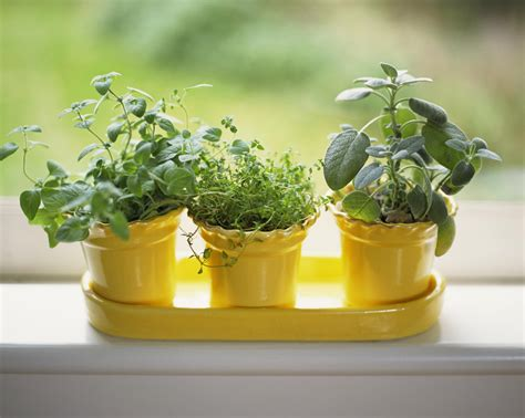 herbs oregano indoors grow potted growing windowsill sunny yellow garden sage thyme bank baigrie james getty wearefound thespruce