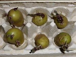 Tomaten Wann Pflanzen : kartoffel vorkeimen pflanzen und anbauen im garten und auf dem balkon ~ Frokenaadalensverden.com Haus und Dekorationen