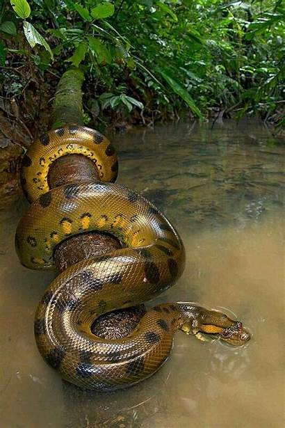 Anaconda Snake Wallpaperaccess Wallpapers