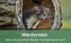Mader Tier Auto : alles wissenswerte rund um das tier marder ~ A.2002-acura-tl-radio.info Haus und Dekorationen
