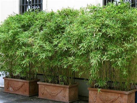 bamboo screening hedge ken eustace