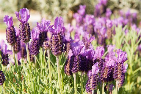 lavender insect repellent plants mosquito repellent plants