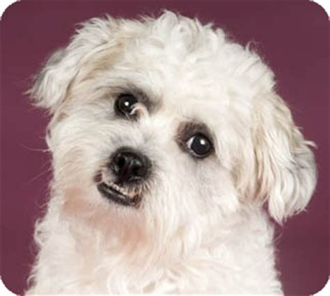 cj adopted chicago il lhasa apso poodle miniature mix