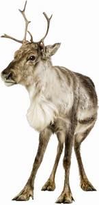 Nom Des Rennes Du Pere Noel : rennes reindeer rennes du p re noel ~ Medecine-chirurgie-esthetiques.com Avis de Voitures